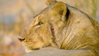 A Lion Pride Has Been on a Bad Hunting Streak