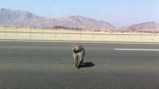 قرود على طريق المدينة مكة طريق الهجرة