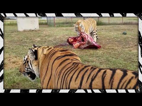 Feeding the lads TIGER LION FEEDING