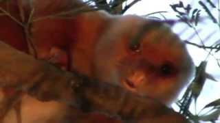 Papua Curcus kruising Koala en aap Wim Peters