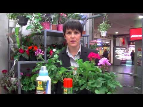 Cómo cuidar el Geranio La Flor del Verano Consejo SUPER AMARA
