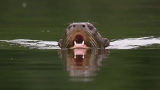 Otter Family Attacks Caiman!   BBC Earth