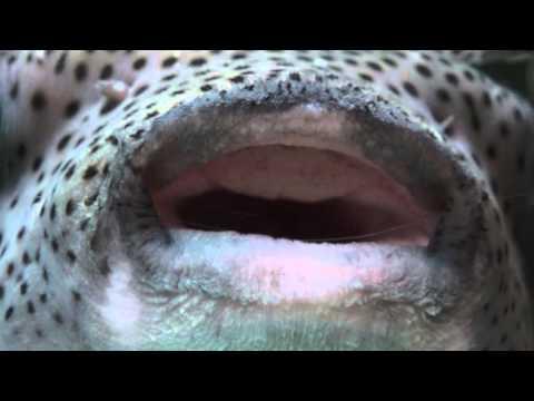 Super Close Up Porcupine Puffer