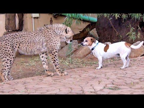 African Cheetah Cub Versus Jack Russell Terrier Cat & Dog Fight Battle of Will Cheetah Thug Life
