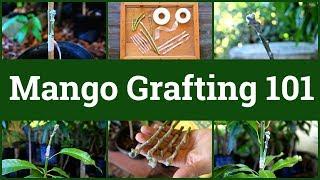 Mango Grafting 101