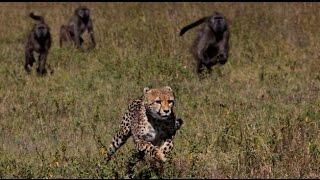 cheetha vs baboon watch baboon wins