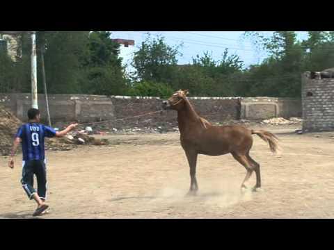 مربط مهنا - خيول عربية اصيلة سلالات نادرة