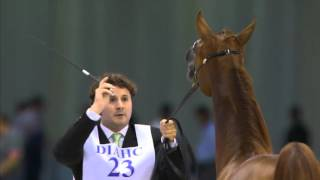 Dubai International Arabian Horse Championship 2016 -Day1