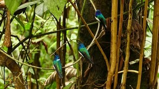 Hummingbirds buzzing in sanctuary at Panama Rainforest Discovery Center