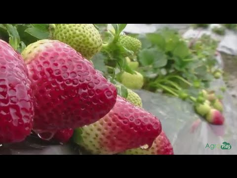 Xxx Mp4 How To Grow Strawberries TvAgro By Juan Gonzalo Angel 3gp Sex
