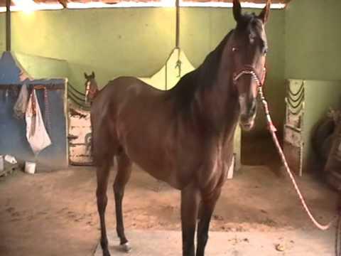 el chacal el mejor cemental de mexico 5 años de vida caballos de carril