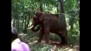 MUST WATCH- Shocking elephant attack in Kerala and funny movements,2014