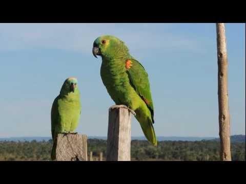 Parrots Psitacídeos papagaios verdadeiro Amazona aestiva