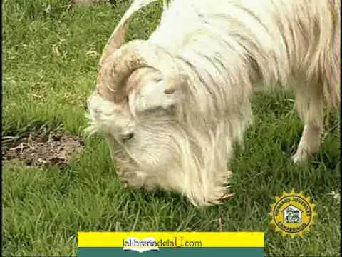 Cabras lecheras Características y razas
