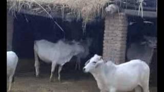 sindhi cows at bashir halepoto farm (falkara,matli) 1.3gp