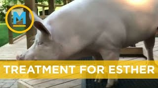 Esther the Wonder Pig has been diagnosed with cancer | Your Morning