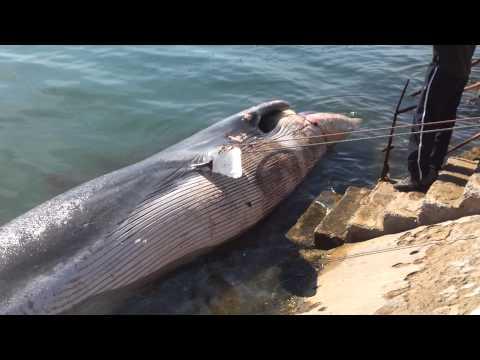 Une baleine morte retrouvée au port de Mohammedia Maroc.
