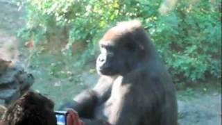 Amazing Gorilla Waves Hello at Bronx Zoo