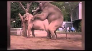 Elephant mating: The humpty hump