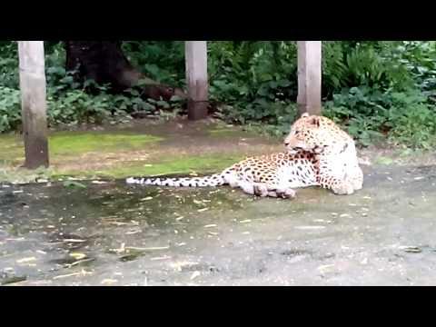 Royal bengal tiger in jaldapara