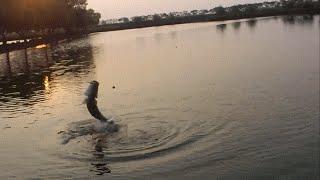 fishing Barramundi 17 kg 07 sep 2013
