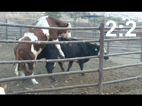 Fight for a cow two bulls copulating with a cow score 2 2
