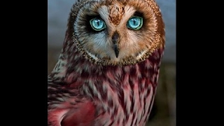 OWLS - Owl Documentary (HD) Amazing Film, Harry Potter Birds (Earth Documentaries)