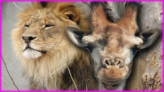 Giraffe kills Lion by kicking