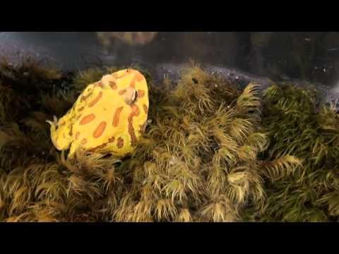 Pacman frog tadpoles
