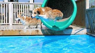 Corgi Pool Party