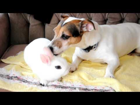 Jack Russell and Dwarf Hotot Bunny