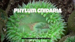 Phylum Cnidaria-Characteristics and Examples