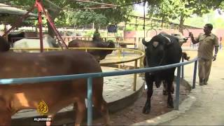5981 economics agriculture Al Jazeera What one buffalo species could do for India