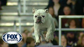 Watch Rudy the Bulldog crush the 2019 WKC Masters Agility course | FOX SPORTS