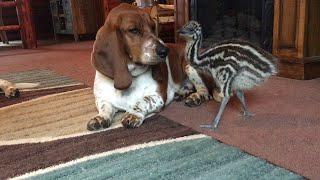 Baby Emu Playing With Basset Hounds || ViralHog