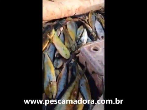 Grupo encontra cardume e abate centenas de dourados no litoral do RJ