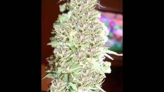 BIG KIND BUDS #001 from the lab of DOCTOR TRI-CHROME