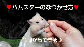 【大成功】ハムスターがなつく飼い方☆おもしろ可愛いハムスター How to became  hamsters friendly to you