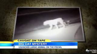 Caught on Tape: Is an African Lion Roaming Streets of California