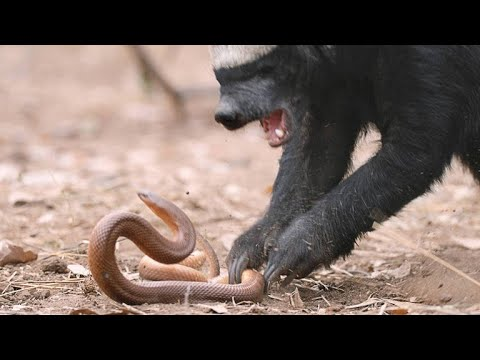 A Honey Badger and Mole Snake Fight to the Death