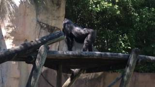 Gus - The Baby Gorilla - playing outside - Fort Worth Texas Zoo