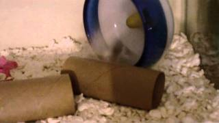 Mottled Roborovski hamster