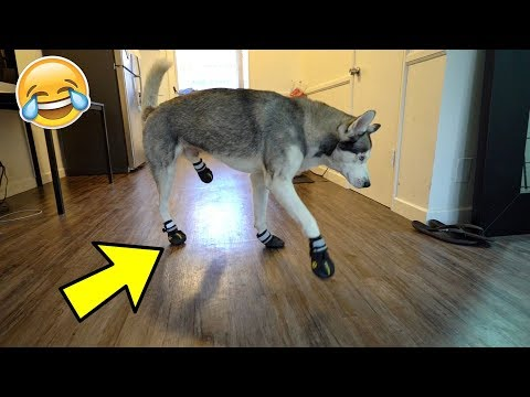 Funny Husky Tries on Dog Shoes for the FIRST time ever