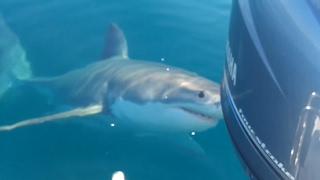 Aussie Fishermen Berate Great White Shark That Wanders Too Close to Boat