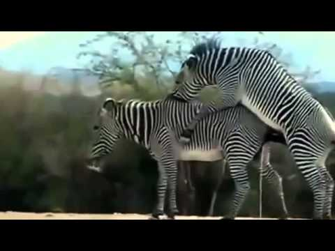 Xxx Mp4 Horse Mating Zebra Animal Mating 3gp Sex