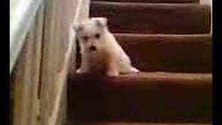 Westie Puppy Scared to Climb Down the Stairs. (Video015.3gp)