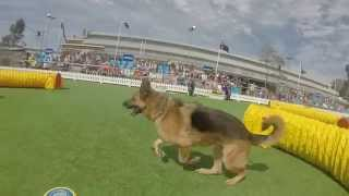 Royal Melbourne Show 2014 GSDCV tunnel extravaganza. German Shepherd Dog Club of Victoria.