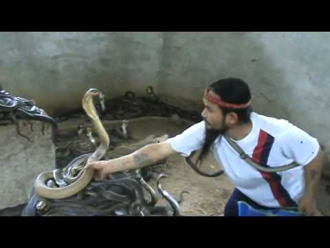 Man Selecting Cobras For Snake Show