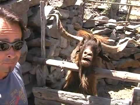Man argues with spitting goat