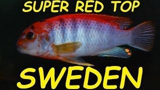 "African Cichlid Species - Labidochromis sp. ""Hongi"" (Sweden) (SRT)"